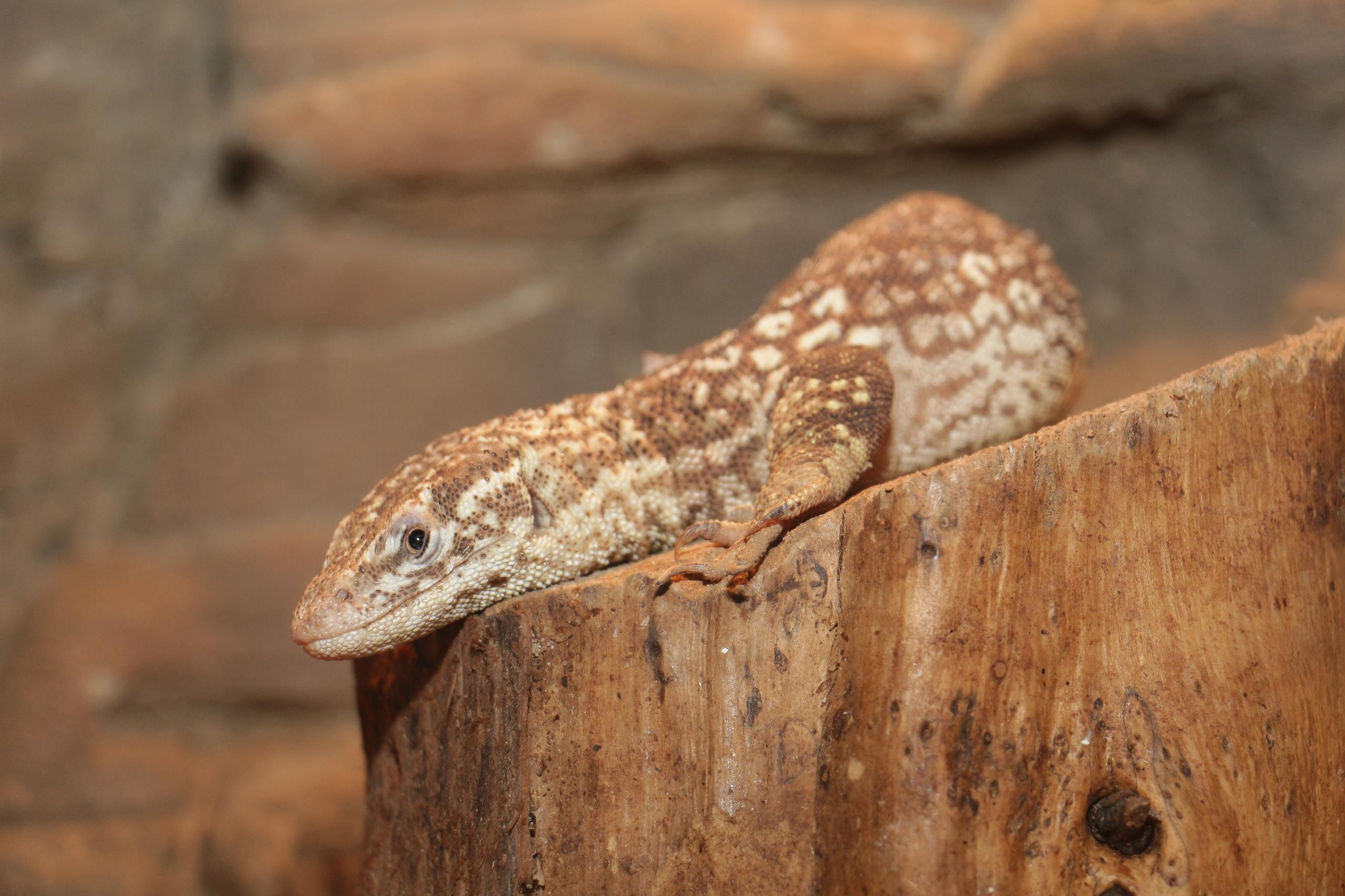 Northern  Blunt-spined Monitor