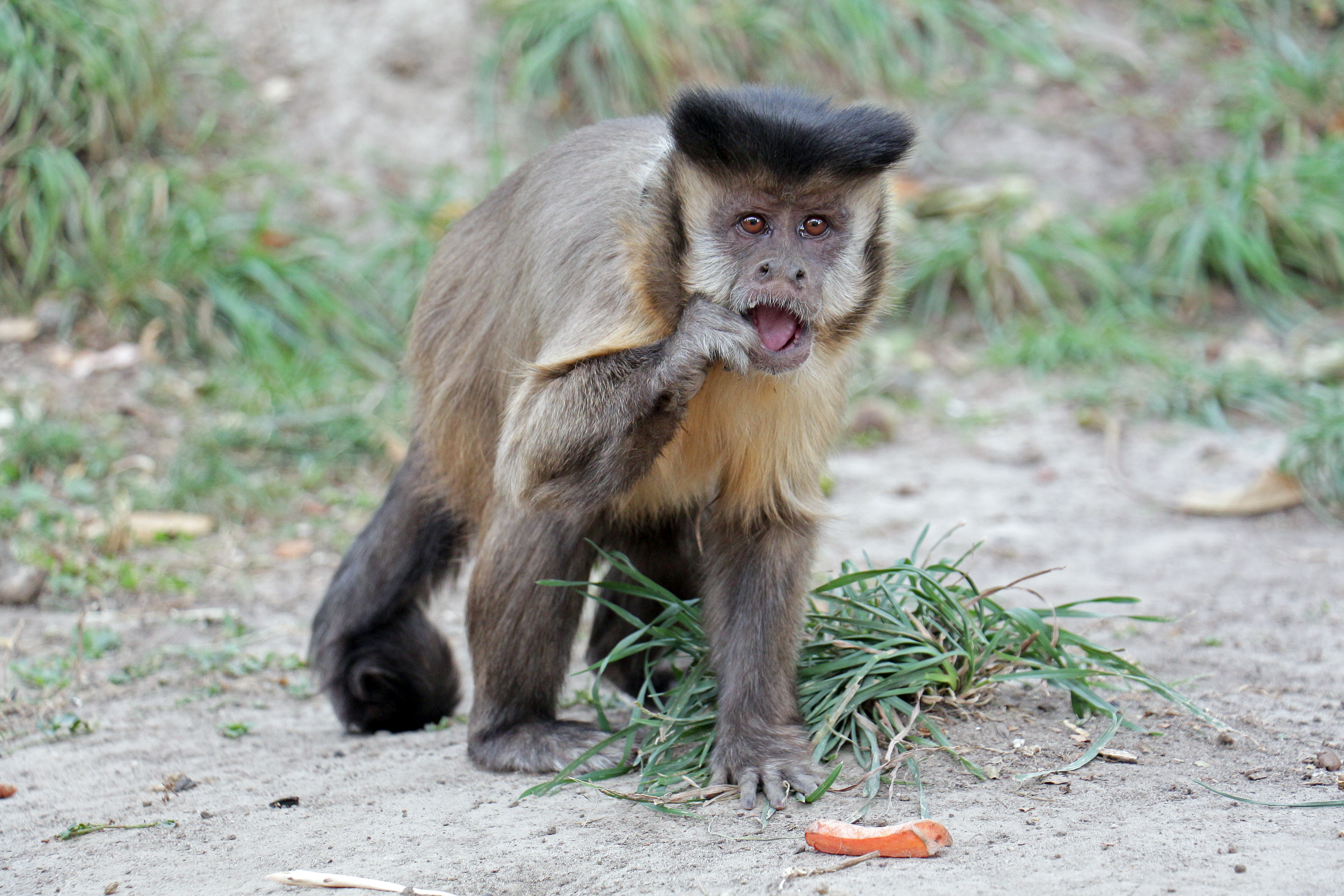 Brown Capuchins: Lifestyles, Behaviors and Descriptions of Monkey Species 71