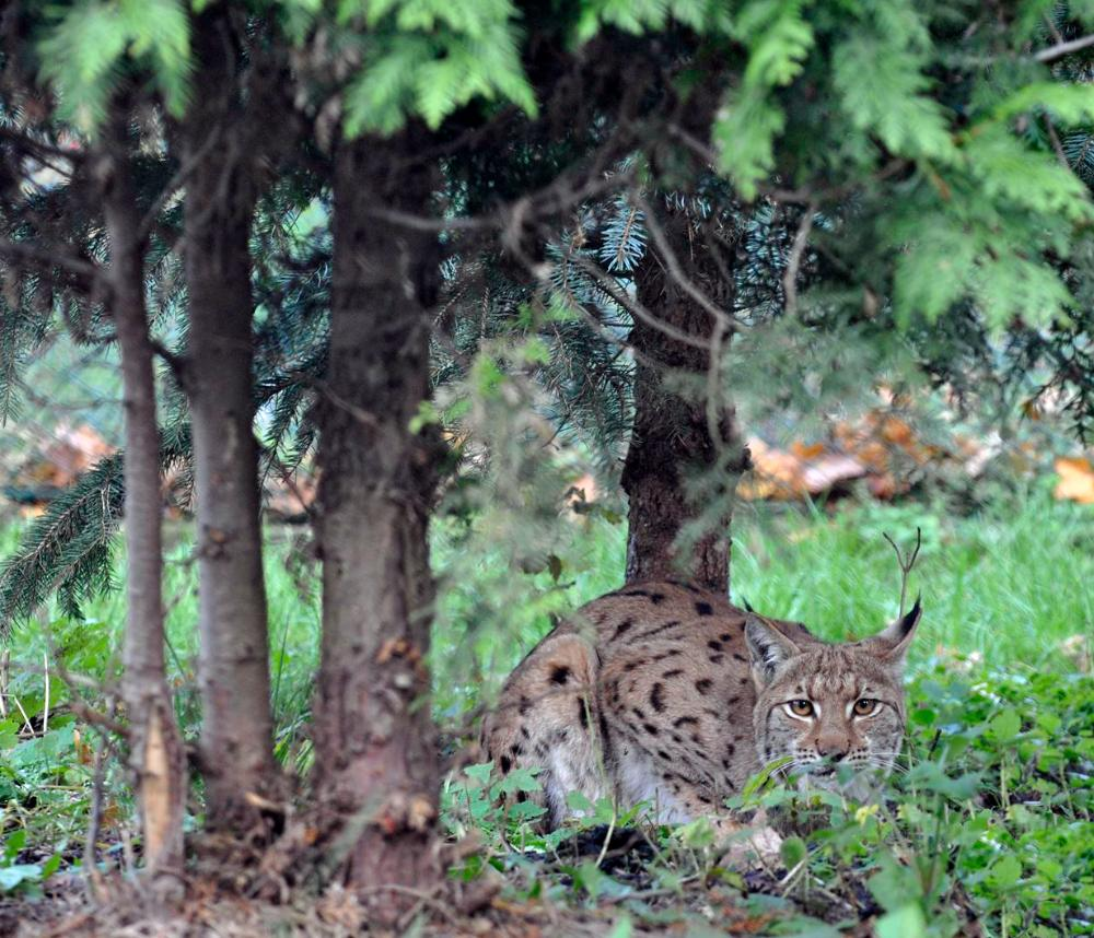 Conservation of the Eurasian lynx